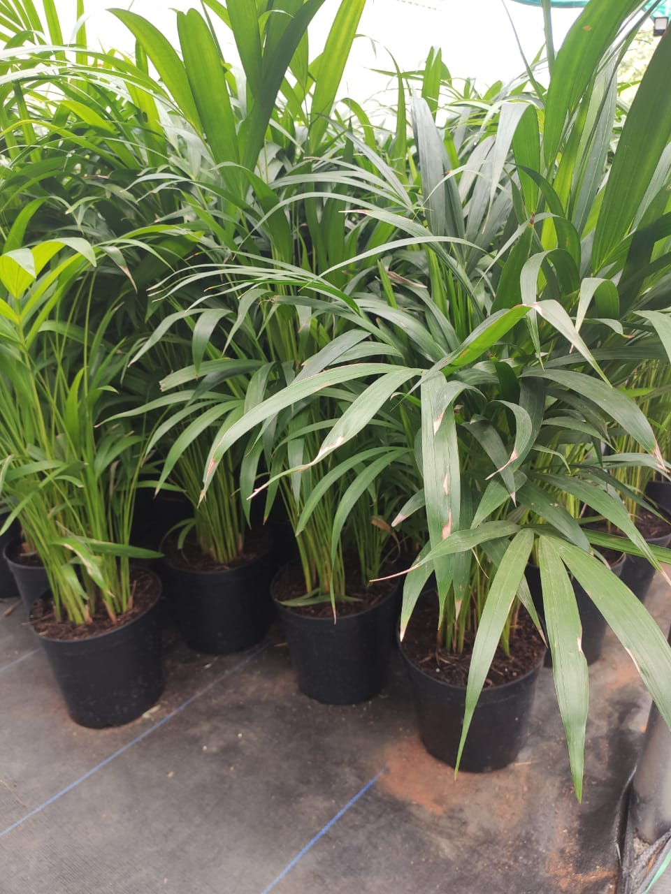 OUTDOOR PLANTS  | EMPHASIS LANDSCAPE & DESIGN | DRAIN BOARD MANUFACTURERS IN BANGALORE ,GEO FABRIC SUPPLIER ,DRAINAGE CELL BANGALORE ,PLANTS SUPLLIERS IN BANGALORE ,DRAIN BOARD BANGALORE - GL101318