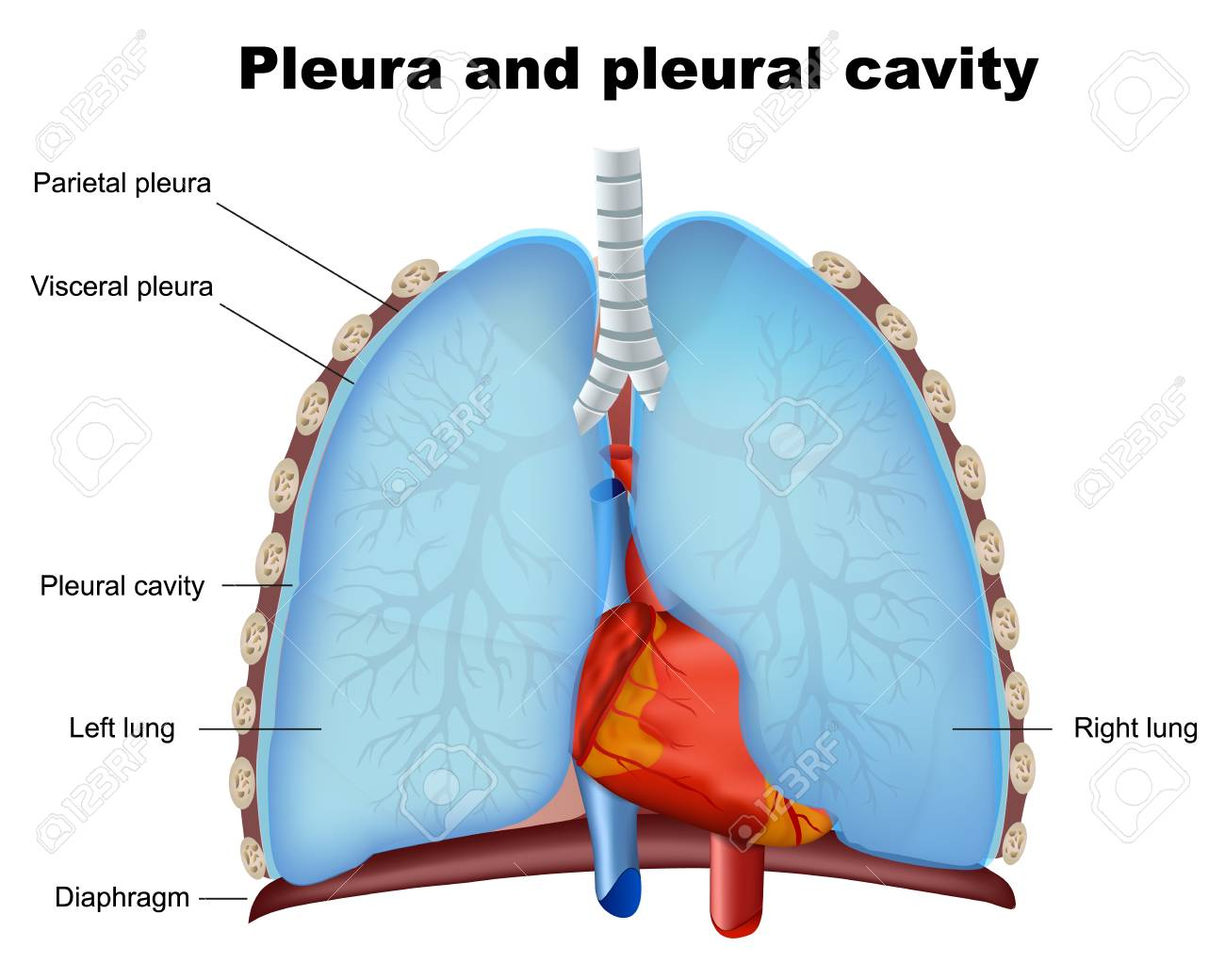 Pleurisy Causes and Homeopathy | Saburi Solace Clinic | Pleurisy treatment with homeopathy in chandigarh,pneumonia treatment with homeopathy in chandigarh,chest pain with cough treatment with homeopathy in chandigarh,chest infections treatment with homeopa - GL94309