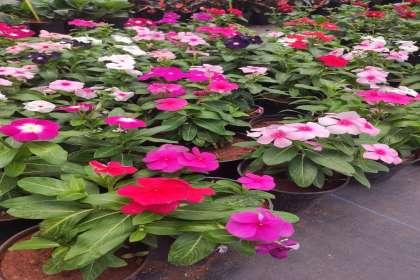 EMPHASIS LANDSCAPE & DESIGN,  FLOWERING POTS IN YELAHANKA ,IRIS PLANTER STANDS ,PLANT NURSERY IN YELAHANKA, GARDEN PLANTS